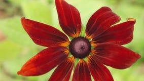 Coneflowers rossi e marroni che ottengono il giorno di estate soleggiato, 4K archivi video