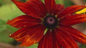 Coneflowers rossi e marroni che ottengono il giorno di estate soleggiato, 4K video d archivio