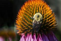 Coneflowers roxos com abelha Fotos de Stock Royalty Free