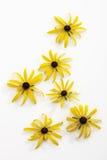 Coneflowers (Rudbeckia fulgida) Royalty Free Stock Photography