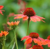 Coneflowers Royalty Free Stock Photography