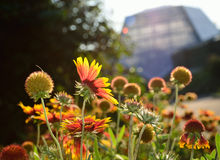 Coneflowers in the summer city Stock Image