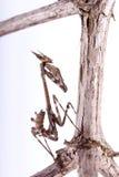 Conehead螳螂(Empusa pennata) 库存照片