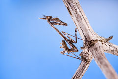 Conehead mantis (Empusa pennata) and blue sky Royalty Free Stock Photo