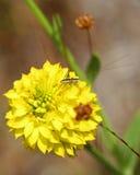 Conehead syrsa med den gula milkworten Royaltyfri Bild