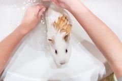 Conejillo de Indias blanco que se lava de la muchacha en un fregadero Fotografía de archivo libre de regalías