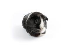 Conejillo de Indias blanco y negro Fotos de archivo libres de regalías
