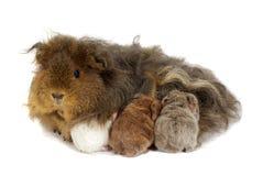 Conejillo de Indias de la madre y tres bebés Imagen de archivo