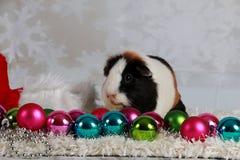 Conejillo de Indias de la Navidad fotos de archivo libres de regalías