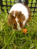 Conejillo de Indias 2 del bebé Foto de archivo libre de regalías