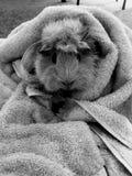 Conejillo de Indias en blanco y negro Imagen de archivo