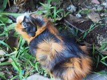 Conejillo de Indias en el hombro 6587 Fotografía de archivo