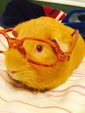 Conejillo de Indias en el hombro 6587 foto de archivo libre de regalías