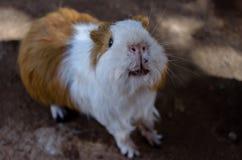 Conejillo de Indias en el hombro 6587 Foto de archivo