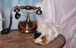 Conejillo de Indias en el teléfono Imagenes de archivo