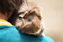 Conejillo de Indias en hombro   Fotos de archivo libres de regalías