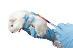 Conejillo de Indias en la mano de los veterinarios Imagen de archivo