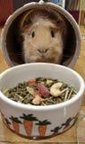 Conejillo de Indias lindo que juega y que oculta en el juguete de la caja del túnel fotos de archivo libres de regalías