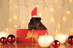 Conejillo de Indias negro de la Navidad en una caja fotos de archivo libres de regalías
