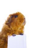 Conejillo de Indias que lleva a cabo la muestra en blanco aislada Fotografía de archivo libre de regalías