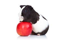 Conejillo de Indias que sube en una manzana roja Imágenes de archivo libres de regalías