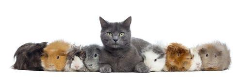 Conejillos de Indias con un gato en fila, aislado Fotos de archivo libres de regalías