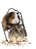Conejillos de Indias divertidos Imagen de archivo