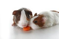 Conejillos de Indias en fondo del blanco del estudio Foto blanca aislada del animal doméstico Cerdos peruanos de Sheltie con el m Imagen de archivo