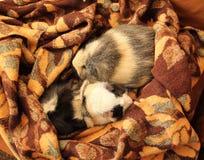 Conejillos de Indias en la manta Fotografía de archivo