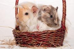 Conejillos de Indias en una cesta Fotos de archivo