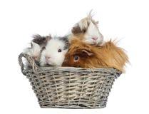 Conejillos de Indias llenados para arriba en una cesta de mimbre, aislada Imágenes de archivo libres de regalías