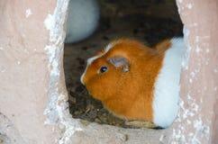 Conejillos de Indias que son criados para comer en Chichero, Perú Imagenes de archivo