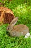 Conejito de pascua con los huevos en cesta Fotos de archivo libres de regalías