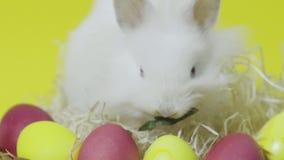 Conejito de pascua que come en jerarquía con los huevos coloreados en fondo amarillo almacen de metraje de vídeo