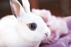Conejito del enano blanco Imagen de archivo