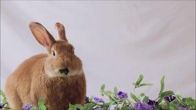 Conejito divertido Rufus Rabbit que come la col rizada con las flores de la lila y el sitio llano del fondo para el texto