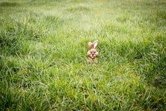 Conejito del chocolate que oculta en la hierba fotografía de archivo libre de regalías