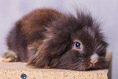 Conejito lindo del conejo de la cabeza del león que mira la cámara Fotos de archivo