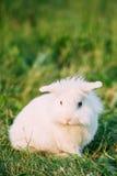 Conejito mullido blanco miniatura decorativo de orejas ca3idas enano del conejo imágenes de archivo libres de regalías
