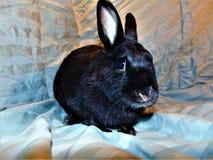 Conejito negro Fotografía de archivo libre de regalías