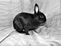 Conejito negro Fotografía de archivo