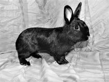 Conejito negro Imágenes de archivo libres de regalías