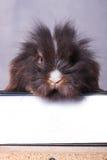 Conejito peludo del conejo de la cabeza del león que se sienta en un libro Imagenes de archivo