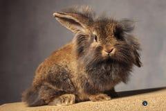 Conejito principal del conejo del león que mira la cámara Foto de archivo