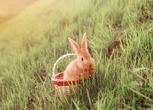 Conejito rojo en cesta en hierba Foto de archivo libre de regalías
