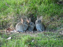 Conejitos de pascua en el parque, Nueva Zelanda Imagenes de archivo