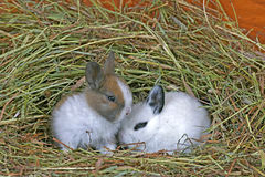 Conejitos del bebé en heno Fotos de archivo