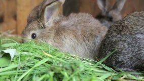 Conejitos en el aparador que come la hierba fresca almacen de video