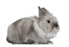 Conejo, 1 año, delante del fondo blanco Fotografía de archivo