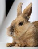 Conejo (3 años) foto de archivo